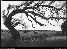 Bent tree. Geraldton, Western Australia.