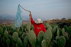 MEXICO. Milpa Alta, Mexico City. 2014. Juan de Dios works in a Nopal field. In the background is Teuhtli volcano.