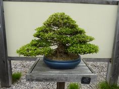 Satsuki Azalea (Rhododendron indicum) 'Nyohozan' Beautiful Gardens, Plants, Planters, Plant, Planting