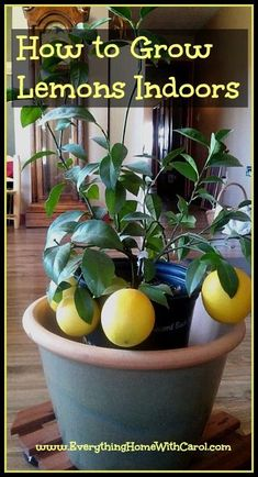How to Grow Lemons Indoors - everything•home•with•carol:                                                                                                                                                                                 More