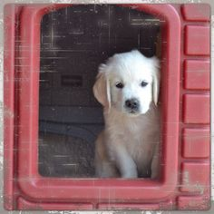 the kind of dog I want. English golden retriever.
