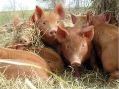 Tamworth Pigs, a breed used predominantly for bacon