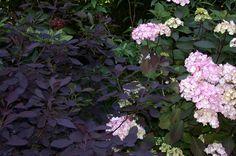 Hydrangea x 'Preziosa' 'Pink Beauty' and Cotinus
