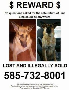 Stolen from her home inRochester, NY, but she can be anywhere. Please keep an eye out for her or anyone that just got a young female German Shepherd that answers to Lina. Funny Animal Pictures, Funny Animals, Female German Shepherd, German Shepherds, Dog Search, Dog Safety, Losing A Dog, Find Pets, Animals Of The World