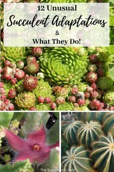 We all know succulents store water for times of drought. But what about hairy leaves, roly-poly offsets or flowers that smell like rotting flesh? Learn about 12 unusual adaptations different succulents plants have made, and what they're for!  #succulents #succulentcare #weirdsucculents #unusualsucculents #succulentadaptations Opuntia Cactus, Prickly Pear Cactus, Golden Barrel Cactus, Crassula Ovata, Mother Plant, Succulent Care, Garden Spaces, Echeveria, Planting Succulents
