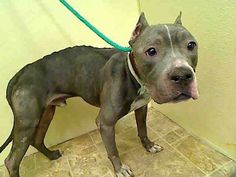 GONE - 03/27/15 --- Manhattan Center    KINTARO - A1030750    MALE, GRAY / WHITE, AM PIT BULL TER MIX, 4 yrs  STRAY - STRAY WAIT, NO HOLD Reason STRAY   Intake condition UNSPECIFIE Intake Date 03/19/2015 https://www.facebook.com/Urgentdeathrowdogs/photos/pb.152876678058553.-2207520000.1427059988./980083658671180/?type=3&theater