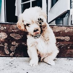 More About The Trustworthy Golden Retriever Pup Health Cute Puppies, Dogs And Puppies, Cute Dogs, Doggies, Puppies Tips, Cute Baby Animals, Animals And Pets, Funny Animals, Perro Fox Terrier