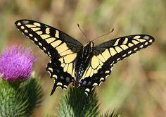W & W Nursery & Landscaping: Butterfly Gardening - Swallowtail, Monarch & Bucke...