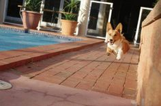 """The Corgi specializes in an activity called turbo FRAP, which stands for Frantic Random Acts of Play. This game involves running at top speed around the yard or furniture generally in a figure eight, wearing a huge grin and appearing temporarily possessed."""