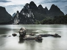 Photograph byAndrew Gemmell, National Geographic - The Li River in China offers a grand view of towering karst peaks—and a cool place to rest for a local farmer's water buffalo. The animals' wide-splayed hooves prevent them from sinking too deeply in the riverbed.
