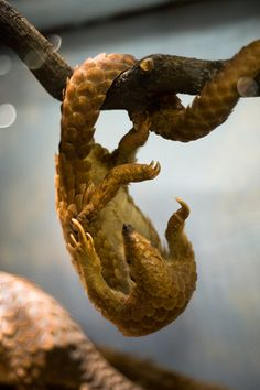 pangolin paws