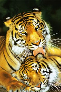 Picture of Tiger - Mothers Love by - animals Beautiful Cats, Animals Beautiful, Beautiful Life, Cute Baby Animals, Animals And Pets, Wild Animals, Nature Animals, Big Cats, Cats And Kittens