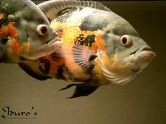 Oscarfish.Com - The Oscar Fish Community