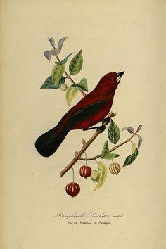 Surinam cherry (Eugenia uniflora) with a Brazilian tanager perched on its branch. Le jardin des plantes, Bernard, P., Couailhac, L. (1842)