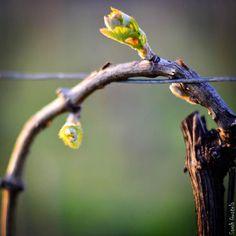 Vignes et sarments en bourgeons