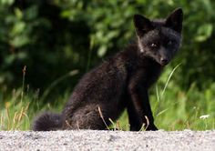The Unique Beauty Of Black Foxes Animals Pinterest Animal - 20 striking photographs that reveal the beauty of rare black foxes