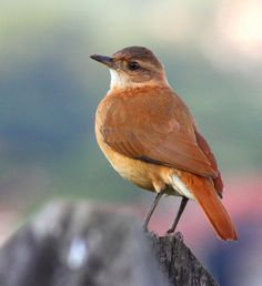 Aves do Brasil: João-de-barro