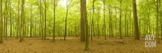 Beech and Scots Pine Trees in a Forest, Thetford Forest, Norfolk, England Photographic Print by Panoramic Images at Art.com, $43.99