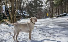 Winter Playland #Labradors with Brody & Saban   #ItsaLabThing