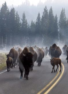 Wyoming Traffic Jam at Yellowstone National Park...