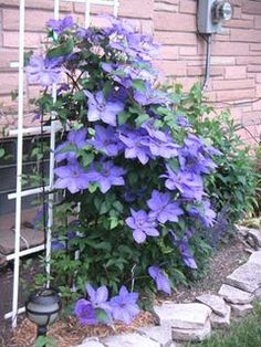 Clematis need regular feeding to thrive   OregonLive.com