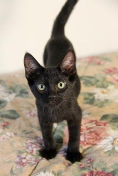 1/31/16****Ash is an adoptable Domestic Short Hair searching for a forever family near Griswold, CT. Use Petfinder to find adoptable pets in your area.