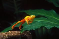 Arrowhead Reed Frog Leaping photo ArrowheadReed.jpg