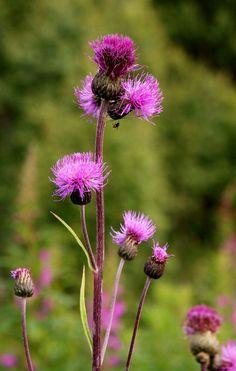 takiaisen kukka Forest Flowers, Wild Flowers, Beautiful Gardens, Beautiful Flowers, Science And Nature, Amazing Nature, Botany, Flower Prints, Finland