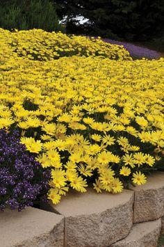 Osteospermum Voltage Yellow | Indiana Gardening eNewsletter