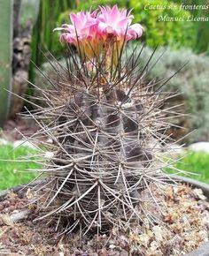 Eriosyce o Neoporteria subgibbosa ssp nigrihorrida / Cactus sin fronteras / Manuel Licona