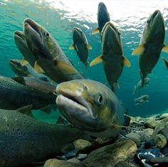 Челябинская область: разведение лососевых расширится системой прудов