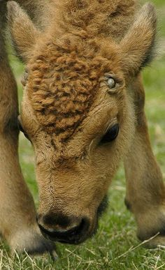 Baby Bison..| Flickr - Photo by ucumari. bison infant head top view
