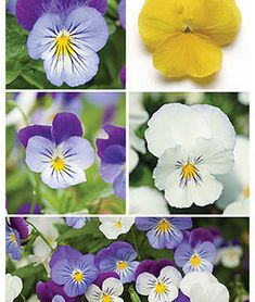 Pansy, Spreading, Plentifall Mix,