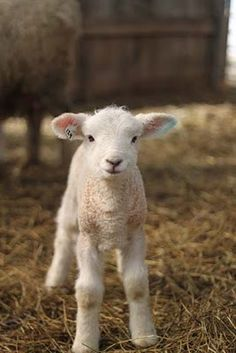 Sweet little lamb.