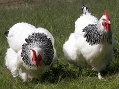 Light Sussex chickens. Multi purpose bird that lays well and are friendly