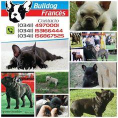 Criadero Bulldog Francés Ejemplares campeones Cachorros disponibles