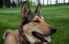 How to clean your dog's Ear Infections