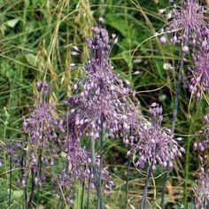 ALLIUM carinatum ssp. pulchellum  (ail d'ornement) : La plupart des ails d'ornement sont originaires des régions tempérées d'Europe, d'Asie et du Moyen-Orient. Ils apprécient les emplacements ensoleillés et chaud et tout type de sol bien drainé. La plantation de ces bulbes peut avoir lieu tout au long de l'automne. Plante vivace bulbeuse à feuillage caduc de 20cm. En juillet se forment des hampes florales de 5cm de diamètre, composées de fleurs en cloche, de couleur rose. La plante est…