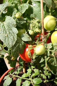 Gemüse vom Balkon http://www.tinto.de/tipps/gemuse-vom-balkon/