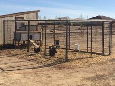 Our hand made chicken run makes the chicks safe from coyotes yet still gives them a freedom to peck about...