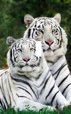 White tigers light switch plate beautiful by SindyOriginalDecor