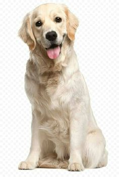 Pets, Pet Dogs, Dogs And Puppies, Labrador Retriever Dog, Dogs Golden Retriever, Golden Retrievers, Golden Labrador, Wood Cat, White Dogs