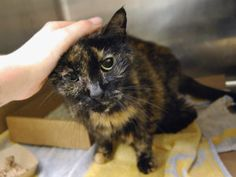 CAT FOUND IN APT AFTER OWNER DIED - NEEDS MEDICAL EVAL - SNEEZING, COLD SYMPTOMS Princess is the mother of Maxine and Zena, she is actually the most social and perky, a bad model as she kept trying to get out of her cage :)