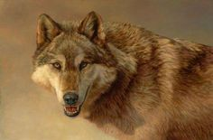 north american timber wolf - Google Search