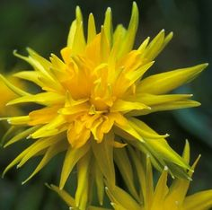 Spiky Rip Van Winkle . Which daffodil to plant?! Too many choices!