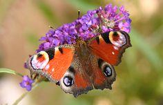 Buddleja - Schmetterlingsstrauch http://www.tinto.de/tipps/topfgarten-uberwinternde-pflanzen-balkonien-und-terrassien/