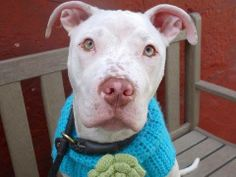 Lovables: URGENT - Manhattan Center    GIBSON - A0995304    NEUTERED MALE, WHITE / BROWN, PIT BULL MIX, 1 yr  STRAY - STRAY WAIT, HOLD RELEASED  Reason STRAY   Intake condition NONE Intake Date 03/31/2014, From NY 11221, DueOut Date 04/03/2014  https://www.facebook.com/photo.php?fbid=781162138563334&set=a.617938651552351.1073741868.152876678058553&type=3&permPage=1