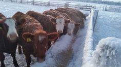Feeding the heifers Dec 2015