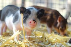 MajesticMiniPigs.com - Mini pigs for sale in california - Micro Miniature Pigs…