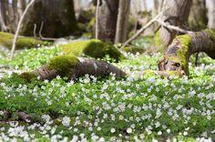 Våren är äntligen här och när solen tittar fram bland molnen och värmer min kind känns livet rätt bra trots allt. #meralink #lkpg #linköping #linköpinglive #visitlinköping #visitsweden #ilovesweden #spring #vår #vitsippor #blommor #flowers #fotograf #jonas_fotograf #canon6d #canon #inspiration #vårkänslor #igdaily #ignature #igsweden #ig_sweden #igscandinavia #sweden_photolovers #swedishmoments #sweden